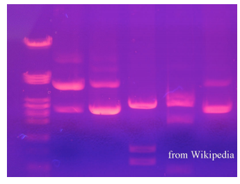 applications of electrophoresis in biology